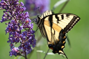 Butterfly-on-Butterfly-Bush-11fqbh5-1024x682